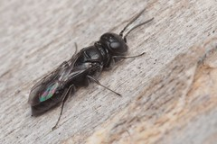 Nitela sp f - 15 V 2019 (el.gritche) Tags: hymenoptera france 40 garden crabronidae nitela female beehotel