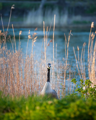 Canada Goose (Mikael Neiberg) Tags: goose canadagoose birdphotography bird animals nature goldenhour sunset sea seashore finland seurasaari negativespace nikond700 tamronsp70300mmf456divcusd