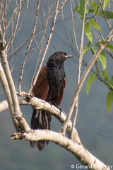 Centropus sinensis (Greater Coucal) (GeeC) Tags: tatai centropussinensis aves nature chordata cambodia kohkongprovince centropus cuculiformes cuculidae animalia birds cuckoos greatercoucal