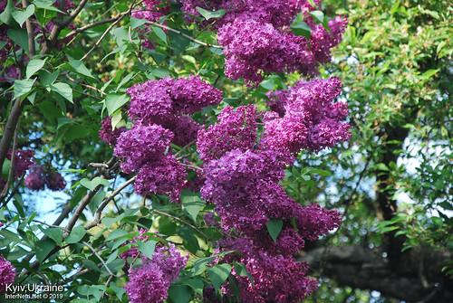 Київ, Ботанічний сад імені Гришка  Цвіте бузок InterNetri Ukraine 72