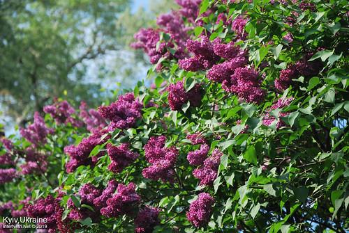 Київ, Ботанічний сад імені Гришка  Цвіте бузок InterNetri Ukraine 68