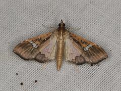 Maruca vitrata (dhobern) Tags: 2019 april australia lamingtonnationalpark lepidoptera queensland crambidae spilomelinae marucavitrata