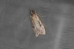 Scoparia sp. (dhobern) Tags: 2019 april australia lamingtonnationalpark lepidoptera queensland scopariinae crambidae scoparia