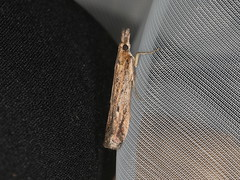 Faveria tritalis (dhobern) Tags: 2019 april australia lamingtonnationalpark lepidoptera queensland pyralidae phycitinae faveriatritalis
