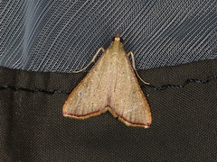 Endotricha pyrosalis (dhobern) Tags: 2019 april australia lamingtonnationalpark lepidoptera queensland pyralidae endotrichinae endotrichapyrosalis