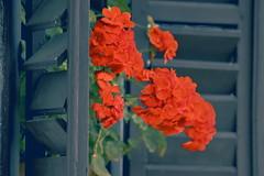 In Explore! 😊 Window with geranium / Muskátlis ablak (Ibolya Mester) Tags: