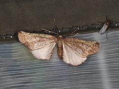 Neogyne sp. (dhobern) Tags: 2019 april australia lamingtonnationalpark lepidoptera queensland geometridae neogyne ennominae