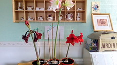 Amaryllis (3) on living room table 29th April 2019 (D@viD_2.011) Tags: amaryllis 3 living room table 29th april 2019