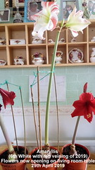 Amaryllis (6th White with red veining of 2019) Flowers now opening on living room table 29th April 2019 (D@viD_2.011) Tags: amaryllis living room table 29th april 2019