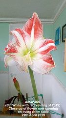 Amaryllis (6th White with red veining of 2019) Close up flower now opening on living room table 29th April 2019 (D@viD_2.011) Tags: amaryllis living room table 29th april 2019