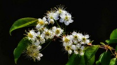 'Que sera sera' (Bob's Digital Eye 2) Tags: blossom canonefs55250mmf456isstm bobsdigitaleye2 flora flowers closeup softfocus canon