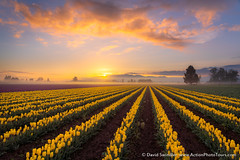Tulip Time (David Swindler (ActionPhotoTours.com)) Tags: fog skagit skagitvalley washington atmosphere clouds color field flowers sunrise tulip tulips northwest mood