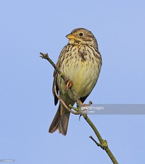 Corn Bunting (Gary Chalker, Thanks for over 4,000,000. views) Tags: bunting cornbunting bird pentax pentaxk3ii k3ii pentaxfa600mmf4edif fa600mmf4edif fa600mm 600mm