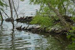 somanyturtles (michaelmaguire4) Tags: water turtles