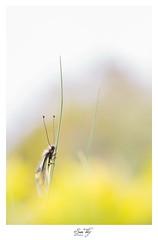 """""""Un bain de soleil """" (the world of collembola) Tags: ascalaphe soufré libelloides coccajus insecte macro 6d 100mm canon france occitanie"""