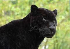 Black jaguar - Zoo Amneville (Mandenno photography) Tags: animal animals dierenpark dierentuin dieren france frankrijk amneville zooamneville black blackjaguar ria bigcat big cat cats jaguar ngc nature natgeo natgeographic