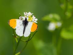 Nectaring Male Orange Tip (bredmañ) Tags: anthochariscardamines white butterfly insect orangetip uk wild british wildlife handheld closeup macro naturallight nature olympus em1mkii 300f4 nectaring flower garlicmustard