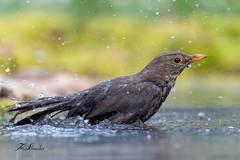 Merle noir (sfrancois73) Tags: oiseau jardin affût merlenoir drinkstation
