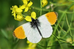 Orange tip (Oranjetipje) in Delft, South-Holland (Elisa1880) Tags: oranjetipje anthocharis cardamines orange tip vlinder butterfly insect animal dier delft zuidholland southholland nederland netherlands