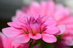 Розовое наслаждение,весенний георгин. (Angelok-Happy) Tags: сад май цветок розовоенаслаждение природа красота георгинgarden may nature pinkpleasure springflower dahlia