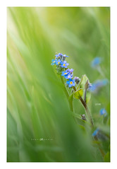 137/365 -Myosotis (lodebelvo) Tags: flower printemps 365 hautesavoie montagne myosotis fleur