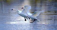 EARLY EVENING LANDING, ACA PHOTO (alexanderrmarkovic) Tags: blufferspark scarboroughoncanada ontario canada acaphoto lakeontario swan