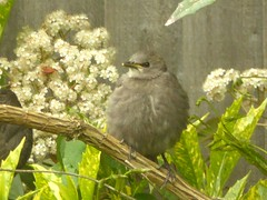 Fledgling (JuliaC2006) Tags: baby bird blackbird turdusmerula garden