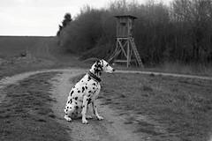 Beobachten. (jens.steinbeisser) Tags: deutschland niedersachsen tierfotografie dalmatiner hund hundefotografie hundefotos outdoor hunderasse bw analog film epsonperfection3200photo fomapan200 mittelformat vuescan caffenol 6x9 moskva5 filmdev:recipe=12243 fomafomapan200 film:brand=foma film:name=fomafomapan200 film:iso=200