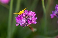 With open arms (ZeGaby) Tags: araignées bokeh flowers macrophotography naturephotography pentax100mmmacro pentaxk1 spider