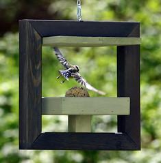 Abort, abort ! (Carahiah) Tags: affût oiseau mésange bird nature boule graine outside envol flight inflight escape libre fuite goaway abord