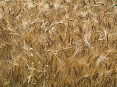 Wheat field (Kirlikedi) Tags: wheat field crop harvest agriculture production abundance sacred bread fame farmer farm garden background spike ear piece straw weed vegetables vegetarian mow collection wind skid yellow gold harvester bale forage barley oat rye macaroni grain warehouse protein seed plant food mature dry revenues yield crispy handle natural