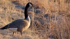 Canada Goose (finlander13) Tags: canadagoose sherburnenationalwildliferefuge exploremn exploresherburne exploreminnesota birdsofminnesota wildlife minnesota minnesotawildlife