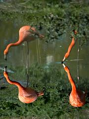 im Tierpark Berlin (Georg Brutalis) Tags: berlin flamingo friedrichsfelde tierpark zoo deutschland