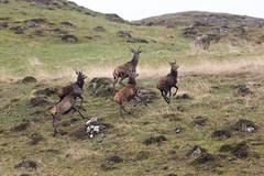 The stags (Shane Jones) Tags: reddeer stags stag deer herd mammal wildlife nature nikon d850 500mmf4 tc14eii mull scotland