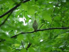wood thrush focus problem (Thundercheese) Tags: rockcreekpark washington dc bird woodthrush