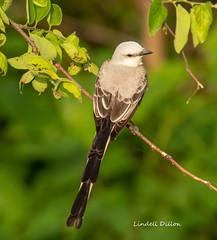 Scisssor-tailed Flycatcher (Lindell Dillon) Tags: scissortailedflycatcher neotropical birds birding nature oklahoma wildoklahoma