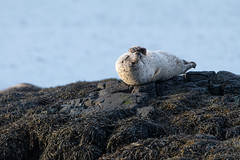 Common seal (Shane Jones) Tags: commonseal seal mammal wildlife nature nikon d850 500mmf4 tc14eii croig mull scotland