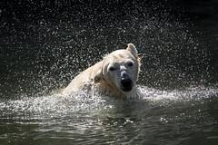 """Eisbärin """"Tonja"""" beim Spielen im Wasser, Tierpark Berlin (Georg Brutalis) Tags: berlin eisbär friedrichsfelde polarbär tierpark tonja ursusmaritimus zoo deutschland"""