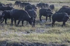 DSC_3089_1 (Marshen) Tags: capebuffalo botswana