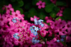 Forget me not (syl20_44) Tags: myosotis forget me garden flower bug insect fleurs beautiful nature pink red blue colours remind syl20 sylvain syl2044 canon 70d eos