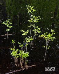 Swamp Springs-0362.jpg (bryanstewartcreative) Tags: bryanstewartcreative nature swamp outdoor outdoors trees water dark green bright dimension color light contrast vibrant 3d woods sapling saplings group together darkwater murky naturephotography landscapephotography outdoorphotography nikon nikond810 d810 composition michigan southeastmichigan metrodetroit puremichigan naturelovers naturalmichigan thegreatlakesstate michiganawesome awesomemitten photography swamps leaves twigs debris