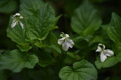 Great Parks Photo Walk: Withrow Nature Preserve (emeagen) Tags: wildflower ohio cincinnati nature violet d500 nikon