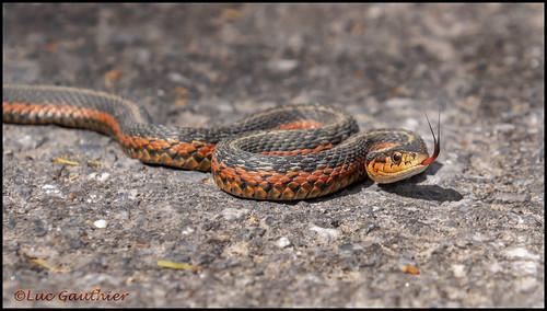 Couleuvre Rayée / Common Garter Snake