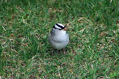 White-Crowned Sparrow In Backyard 007 - Zonotrichia Leucophrys (Chrisser) Tags: birds bird sparrows sparrow whitecrownedsparrows whitecrownedsparrow zonotrichialeucophrys nature ontario canada canoneosrebelt6i canonef75300mmf456iiiusmlens passerellidae