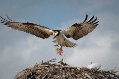 Bringing Home a Leaf (lablue100) Tags: animal animals osprey maleosprey birdsofprey wings fish talon food nest peprch landing fishing hungry beauty landscapes nature