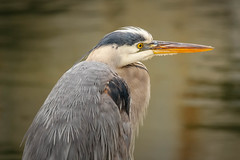 Great Blue Heron (lablue100) Tags: animals animal birds bird heron greatblueheron beak colors feathers nature water beauty waterbird