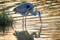 Great Blue Heron Fishing (lablue100) Tags: greatblueheron bird birds herons fishing legs beaks water sunset action