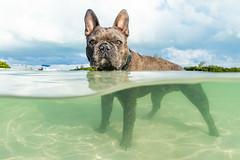Swimming Pig (Fifinator) Tags: canon sl sl2 bahamas french bulldog nassau caribbean underwater split shot pig swimming bully clear over under
