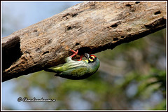 8793 - coppersmith barbet (chandrasekaran a 61 lakhs views Thanks to all.) Tags: coppersmithbarbet barbet birds nature india chennai canon60d
