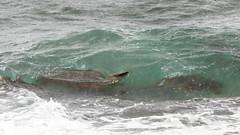 Green Sea Turtles Battling the Surf (dmills727) Tags: hawaii hookipabeachpark maui herp reptile turtle